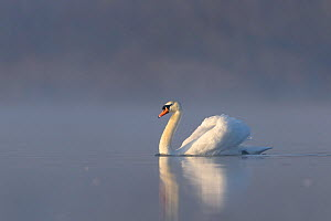 Mute swan (Cygnus olor) swimming across lake at sunrise. London, UK. February.  -  Oscar Dewhurst