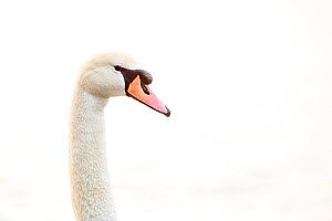 Mute swan (Cygnus olor). London, UK. April  -  Oscar Dewhurst