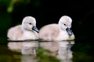 Mute swan (Cygnus olor) cygnets. London, UK. April  -  Oscar Dewhurst