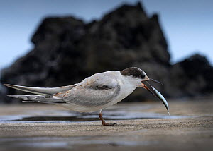 Common tern (Sterna hirundo) juvenile with fish, Flores island, Azores, Portugal  -  Luis Quinta