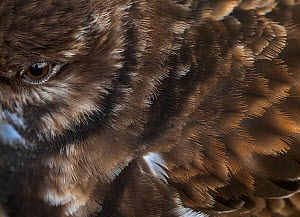 Turnstone (Arenaria interpres) close up of feathers and eye, Portugal - Luis Quinta