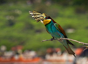 European bee-eater (Merops apiaster) with butterfly prey, Portugal  -  Luis Quinta