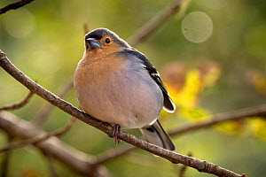 Madeira chaffinch (Fringilla coelebs madeirensis) male, Laurisilva forest, Laurisilva of Madeira UNESCO World Heritage Site, Madeira Island.  -  Luis Quinta