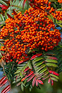 Sorbus scalaris, species of rowan, native to western Sichuan and Yunnan in China. Close up of red / orange berries and leaves. October  -  Philippe Clement