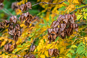 Seed pods and leaves of Goldenrain tree (Koelreuteria paniculata) native to eastern Asia, China and Korea, October  -  Philippe Clement