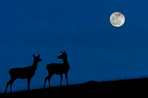 Red deer (Cervus elaphus) hind / female with juvenile silhouetted against blue night sky with full moon, Belgium, November. Digital manipulated.  -  Philippe Clement
