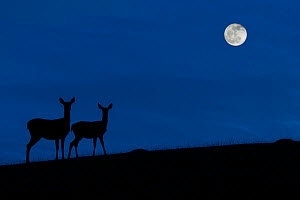 Red deer (Cervus elaphus) hind / female with juvenile silhouetted against blue night sky with full moon, Belgium. Digital manipulated.  -  Philippe Clement