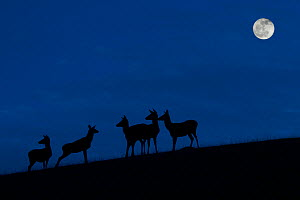 Red deer (Cervus elaphus) hinds / females with juveniles silhouetted against blue night sky with full moon, Belgium. November. Digital manipulated.  -  Philippe Clement