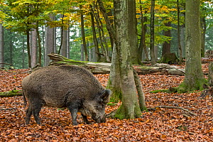 Wild boar (Sus scrofa) foraging in autumn forest by digging with snout in leaf litter in search for beech nuts in the Ardennes, Belgium. November  -  Philippe Clement