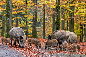 Wild boar (Sus scrofa) group with piglets foraging in autumn forest, Ardennes, Belgium. November  -  Philippe Clement