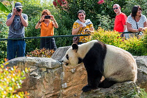 Visitors / tourists taking pictures of giant panda (Ailuropoda melanoleuca) in the zoo at ZooParc de Beauval, France, 2018. Captive  -  Philippe Clement