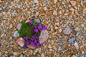 Moss campion / cushion pink (Silene acaulis) in flower on serpentine debris, Keen of Hamar nature reserve, Unst, Shetland Islands, Scotland, UK. May 2018  -  Philippe Clement