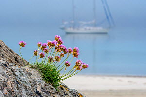 Sea thrift / sea pink (Armeria maritima) in flower and sailing boat anchored in the mist in front of sandy beach, Shetland, Scotland, UK. May - Philippe Clement