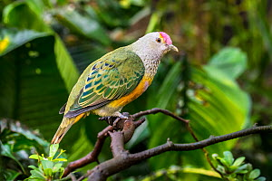 Rose-crowned fruit dove / Swainson's fruit dove (Ptilinopus regina) perched in tree, native to Australia and Indonesia. Captive - Philippe Clement