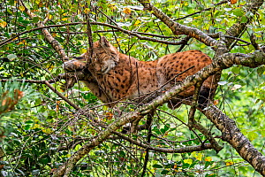 Eurasian lynx (Lynx lynx) sleeping on branch in tree canopy in forest. Captive - Philippe Clement