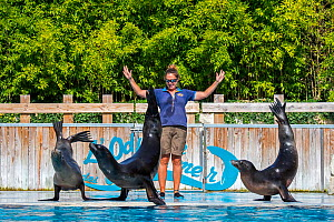 Three California sea lions (Zalophus californianus) performing with zookeeper at the French zoo ZooParc de Beauval, France, September 2018  -  Philippe Clement