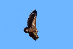 Griffon vulture / Eurasian griffon (Gyps fulvus) in flight, soaring against blue sky, Provence, France, September  -  Philippe Clement
