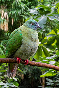 Black-naped fruit dove / black-headed fruit dove (Ptilinopus melanospilus) young female in tree, native to Indonesia, Malaysia and the Philippines. Captive - Philippe Clement