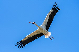 White stork (Ciconia ciconia) in flight thermal soaring with spread wings against blue sky, France. - Philippe Clement