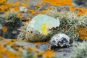 Predated egg shells of razorbill (Alca torda) broken and eaten by herring gull or great skua in spring, Scotland, UK, June - Philippe Clement