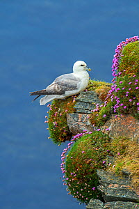 Northern fulmar / Arctic fulmar (Fulmarus glacialis) resting in sea cliff at seabird colony at Hermaness, Unst, Shetland, Scotland, UK, June  -  Philippe Clement