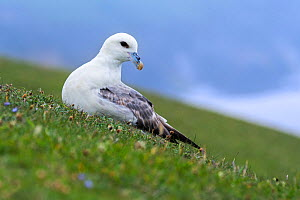 Northern fulmar / Arctic fulmar (Fulmarus glacialis) resting on sea cliff top at seabird colony at Hermaness, Unst, Shetland, Scotland, UK, June  -  Philippe Clement