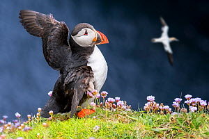 Atlantic puffin (Fratercula arctica) in breeding plumage flapping wings on sea cliff top in seabird colony, Scotland, UK, May. Digital composite - Philippe Clement