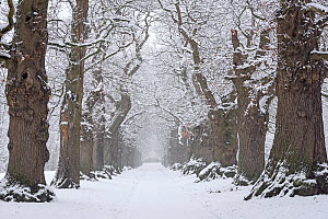 Country lane lined with 200 year old sweet chestnut trees (Castanea sativa) covered in snow during snowfall in winter, Belgium, January - Philippe Clement