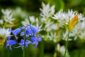 Bluebell (Hyacinthoides nonscriptus) and Wild garlic (Allium ursinum) in flower in spring forest, Belgium, April  -  Philippe Clement