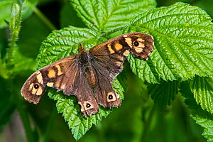 Speckled wood (Pararge aegeria) butterfly with severely damaged wings resting on leaf, Belgium, April - Philippe Clement
