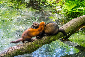 Two European polecats (Mustela putorius) male and female crossing water of pond / stream over fallen tree. Captive - Philippe Clement