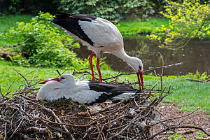 White stork (Ciconia ciconia) male bringing branch for nest building to nesting female in spring, captive. - Philippe Clement