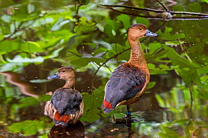 Lesser whistling duck / Indian whistling duck (Dendrocygna javanica) pair, native to Indian subcontinent and Southeast Asia. Captive  -  Philippe Clement