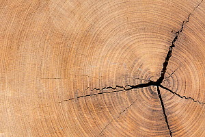 African teak / afromosia (Pericopsis elata) cross section showing annual growth rings / tree rings  -  Philippe Clement
