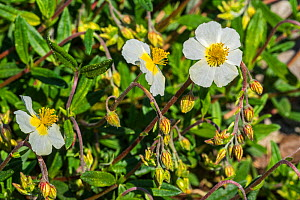 Common rock-rose (Helianthemum nummularium subsp. nummularium) white form in flower, native to most of Europe. May  -  Philippe Clement
