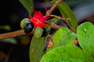 Mickey Mouse plant / Bird's eye bush (Ochna kirkii) showing drupelet fruit native to Tropical Africa. May - Philippe Clement