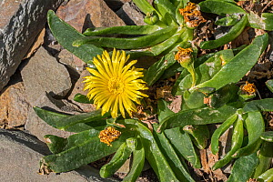 Glottiphyllum longum / Glottiphyllum cultratum, succulent subtropical plant native to South Africa. May  -  Philippe Clement