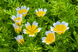 Douglas' meadowfoam / poached egg plant (Limnanthes douglasii) in flower, native to California and Oregon. May - Philippe Clement