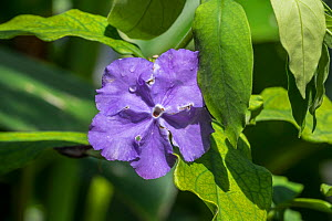 Brazil raintree (Brunfelsia pauciflora) in flower, endemic to Brazil. May - Philippe Clement