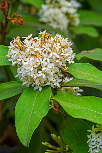 African wintersweet / dune poison bush (Acokanthera oblongifolia) in flower, Mozambique and South Africa, May  -  Philippe Clement