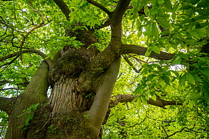 Sweet chestnut (Castanea sativa) close-up of tree trunk and foliage, Belgium. May - Philippe Clement