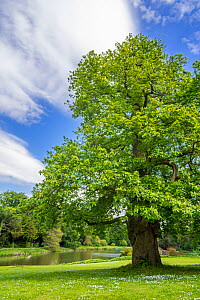 Sweet chestnut (Castanea sativa) tree in park in spring, Belgium. May - Philippe Clement