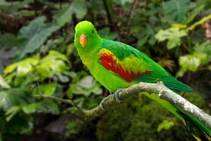 Jonquil parrot / olive-shouldered parrot (Aprosmictus jonquillaceus) perched in tree, native to Timor, Asia. Captive. Digital composite  -  Philippe Clement