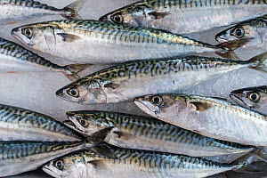 Atlantic mackerel (Scomber scombrus) fishes on ice on display in fish shop / fish market - Philippe Clement