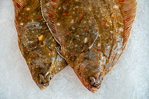 European plaice (Pleuronectes platessa) fishes on ice on display in fish shop / fish market - Philippe Clement