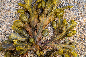 Spiral wrack / flat wrack (Fucus spiralis), brown alga seaweed washed ashore on rocky beach, Normandy, France, June - Philippe Clement