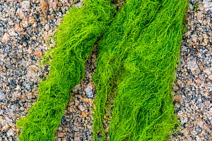 Cladophora rupestris, green alga washed on rocky beach, Normandy, France, June  -  Philippe Clement