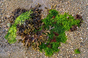 Gutweed (Ulva intestinalis / Enteromorpha intestinalis), sea lettuce (Ulva lactuca) and spiral wrack / flat wrack (Fucus spiralis) washed on beach, Normandy, France, June - Philippe Clement