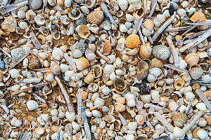 Complete and fragmented shells washed ashore on wrack zone / wrack line on sandy beach along the North Sea coast at low tide, Belgium, June  -  Philippe Clement