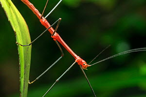 Peruvian fern stick insect / Peruvian stick insect (Oreophoetes peruana) male, native to Ecuador and Peru. Captive  -  Philippe Clement
